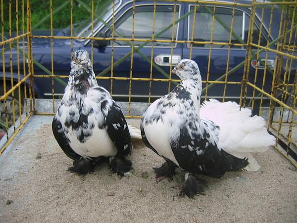 статные голуби урала фото шалевые лошадь отличается другой