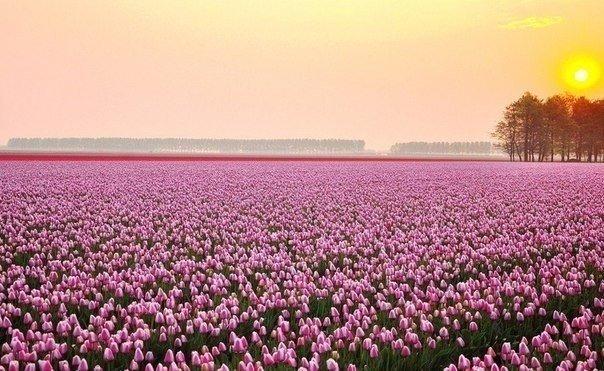 Поле тюльпанов в Нидерландах на рассвете. Красота!!!... Идеи для жизни